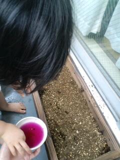 ツルムラサキ種蒔き